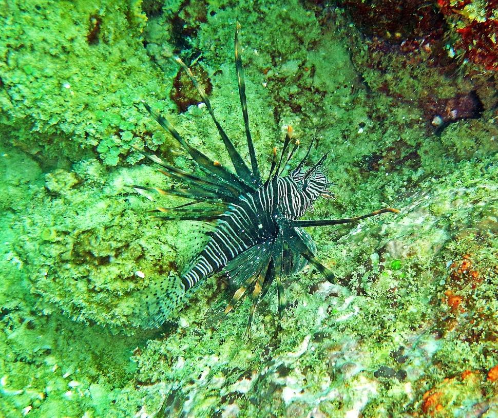 Lionfish, Hikkaduwa