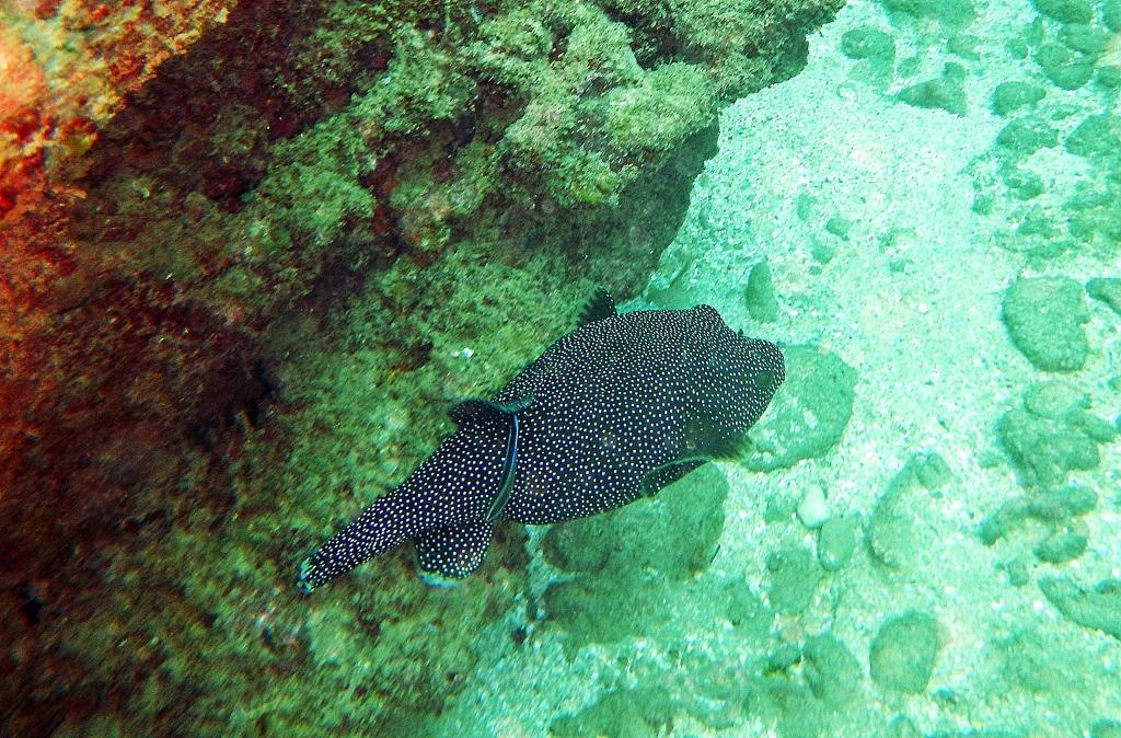 Pufferfish, Hikkaduwa