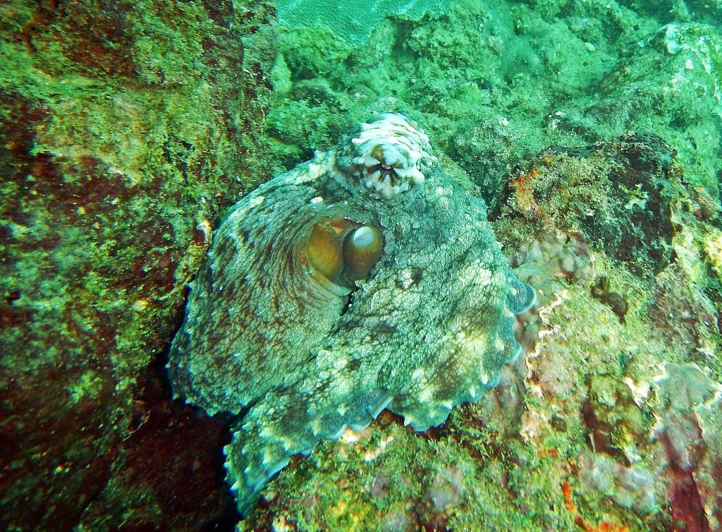 Octopus, Hikkaduwa
