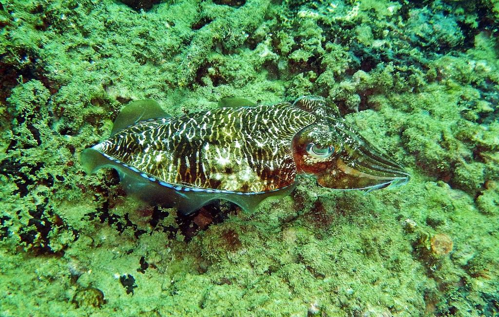 Cuttlefish, Hikkaduwa