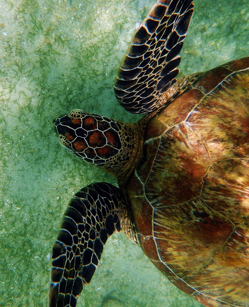 Marine turtle, Mirissa, Sri Lanka