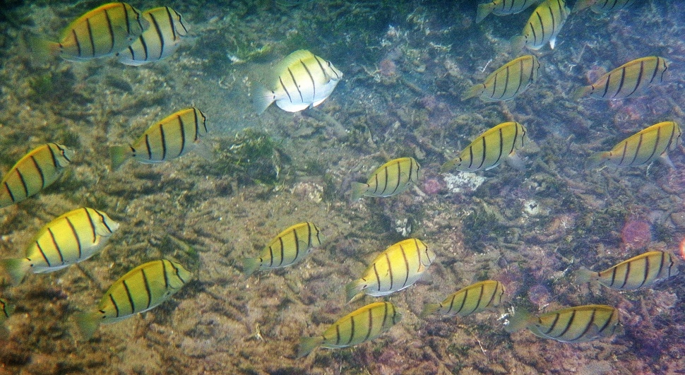 School of fish, Mirissa, Sri Lanka