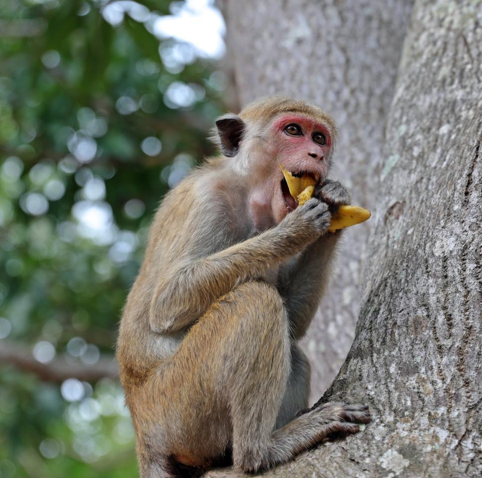 Toque Macaque, Mihintale