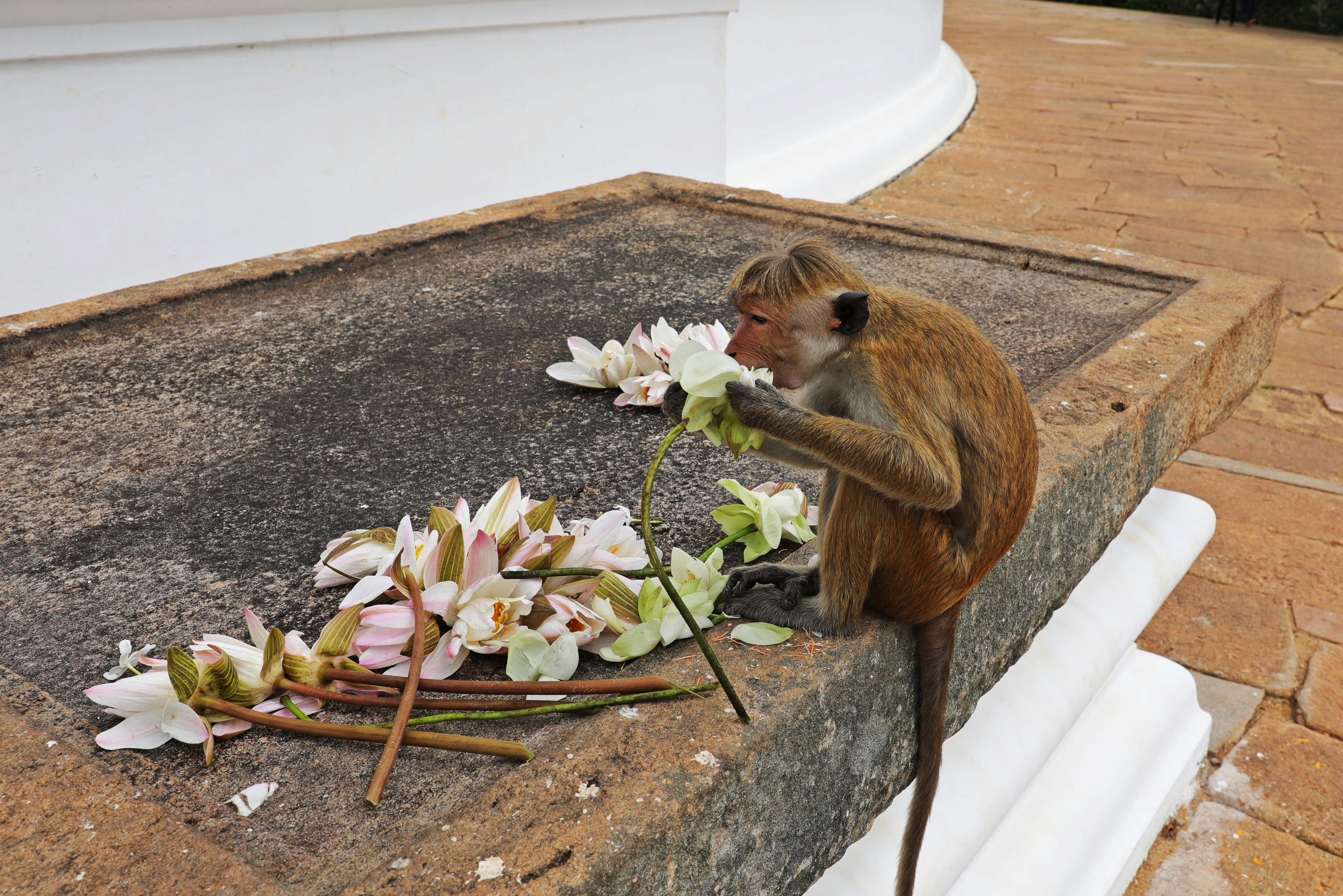 Toque macaque eating offerings at Mahaseya Dagoba, Mihintale
