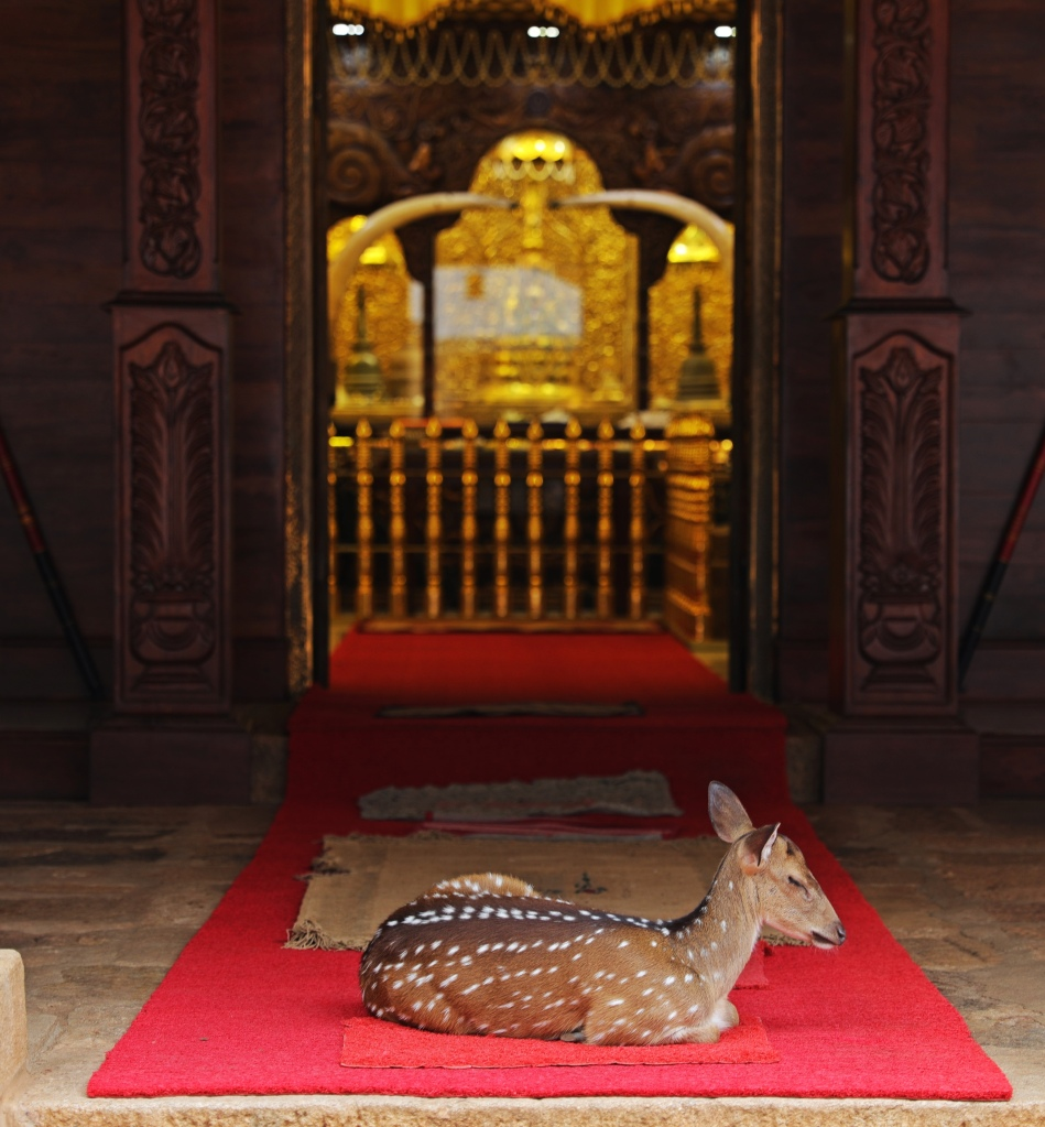 Spotted deer taking a nap outside a temple, Mihintale