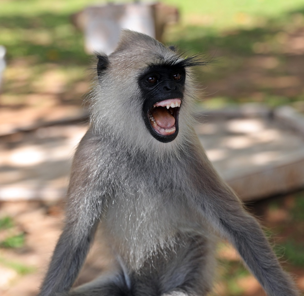 Grey Langur with bad teeth, Anuradhapura