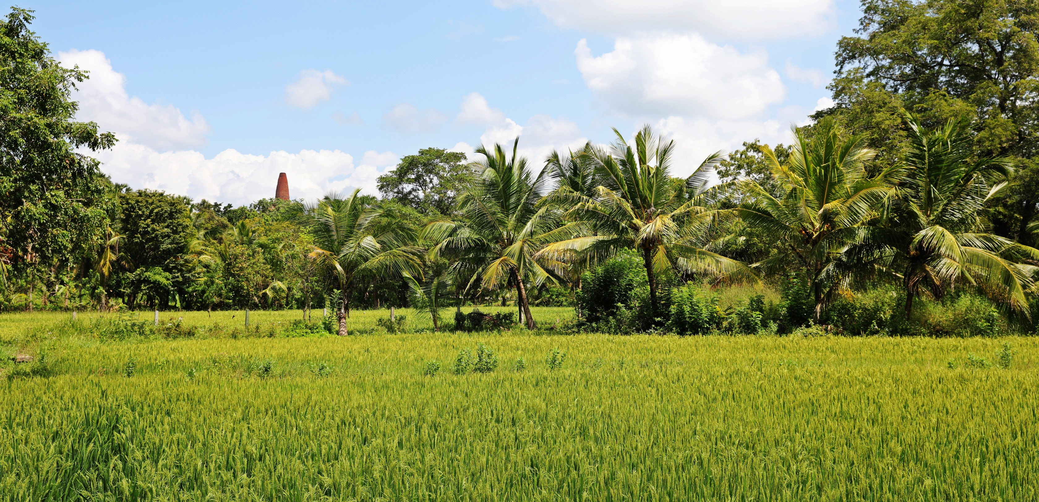 Rice fields with a dagoba in the background, Anuradhapura
