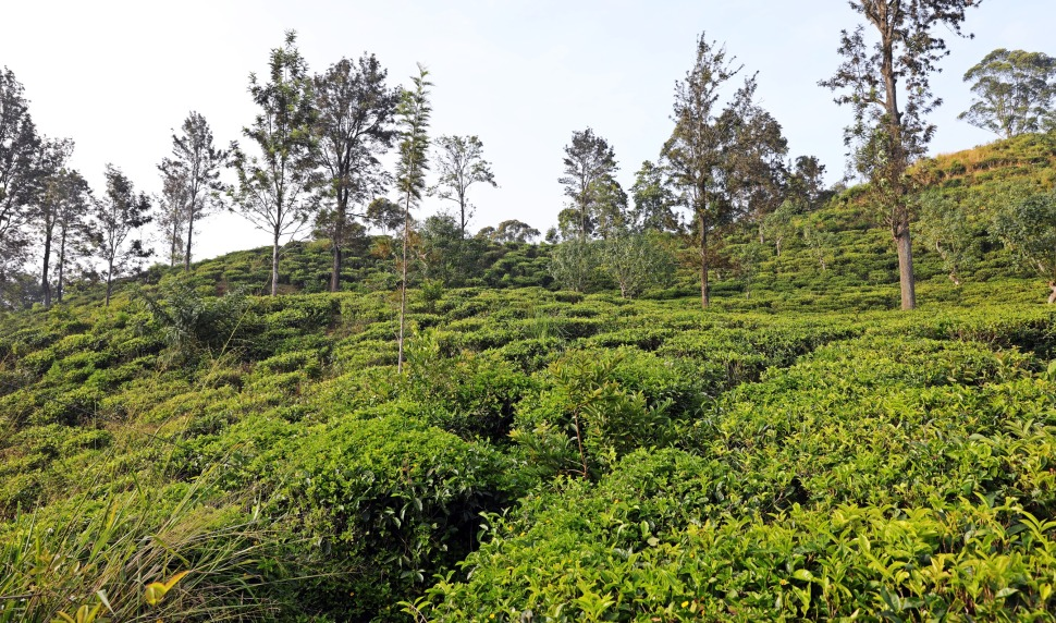 Tea plantation before Little Adam's Peak