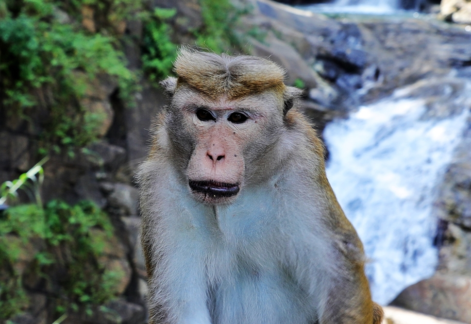 Toque Macaque at Rawana Waterfall