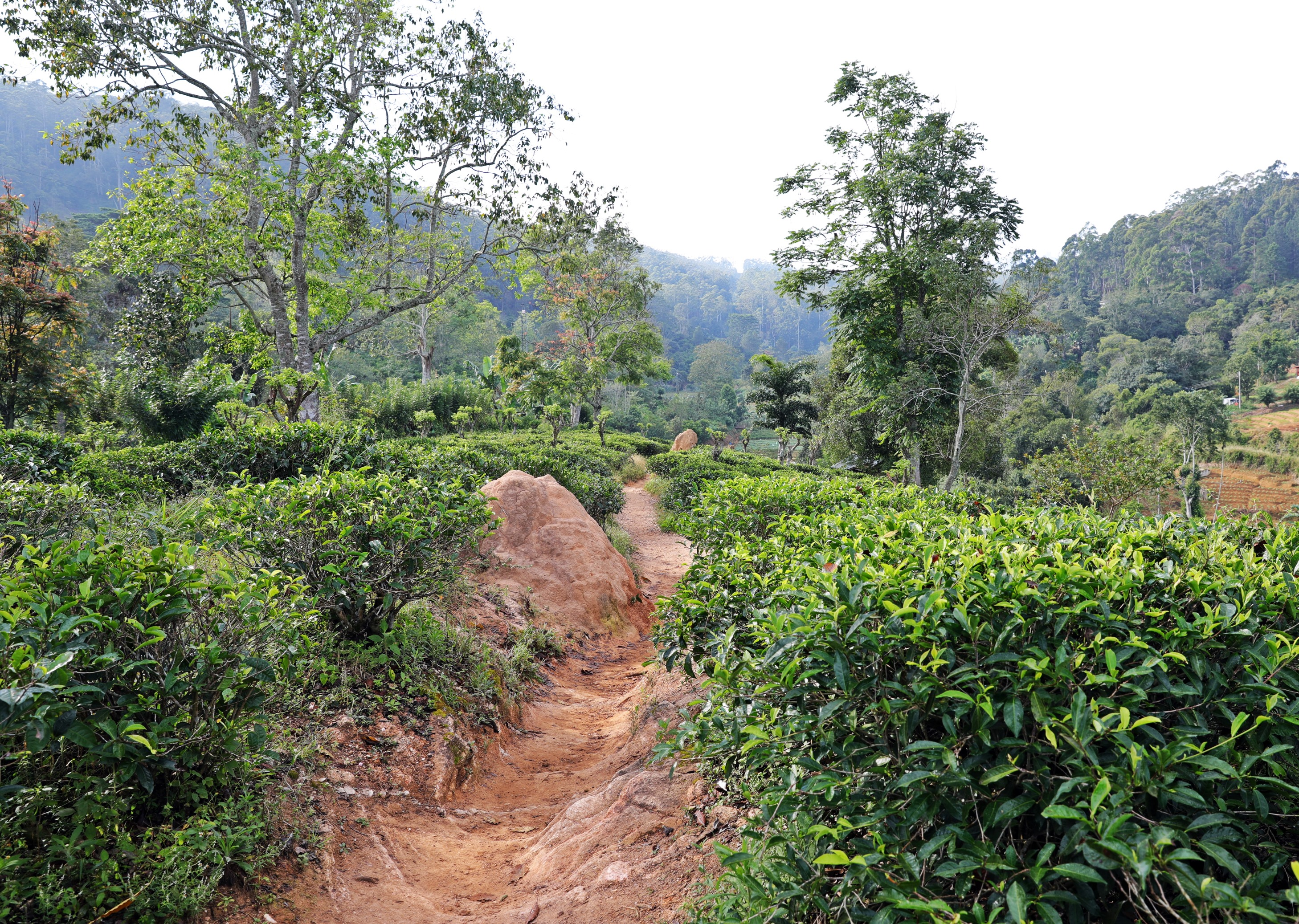 Walking through tea plantation, Ella Rock trek