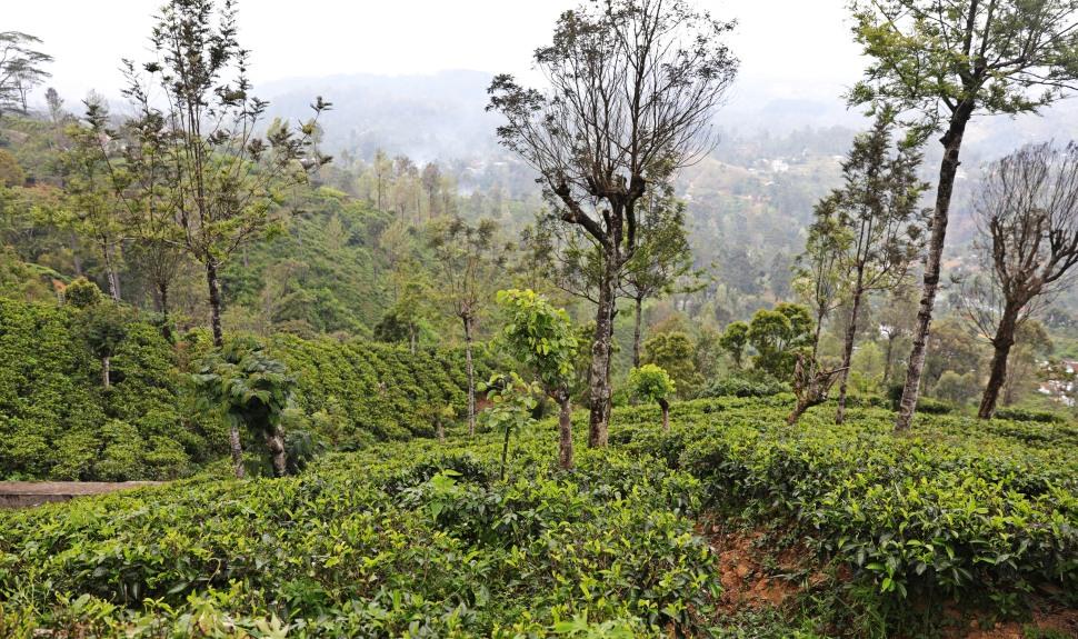 Tea Plantation, Haputale