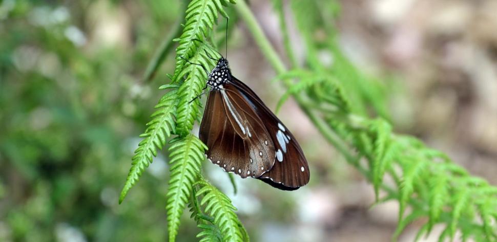 Butterfly, Nuwara Eliya