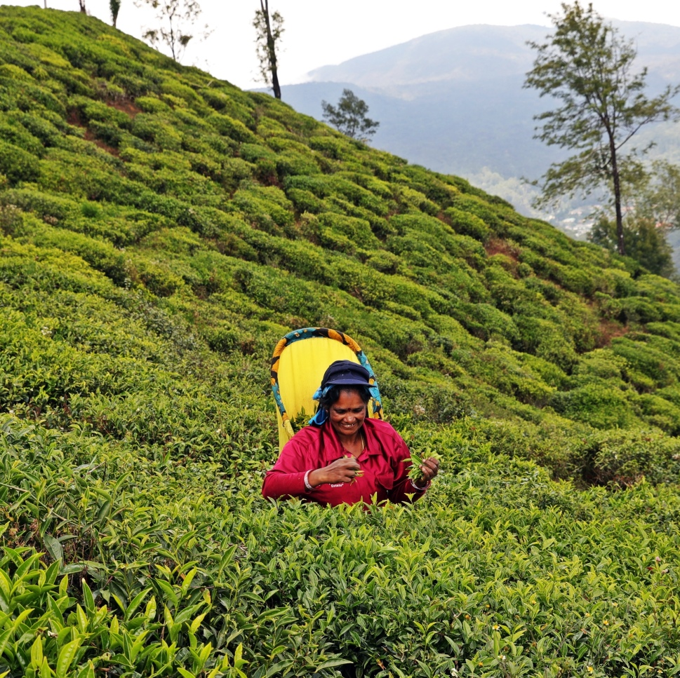 Tea plucker, Nuwara Eliya