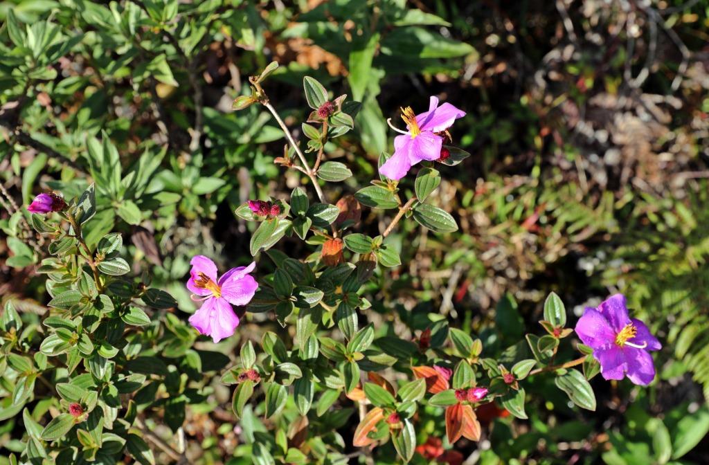 Pink Rose Myrtle, Horton Plains