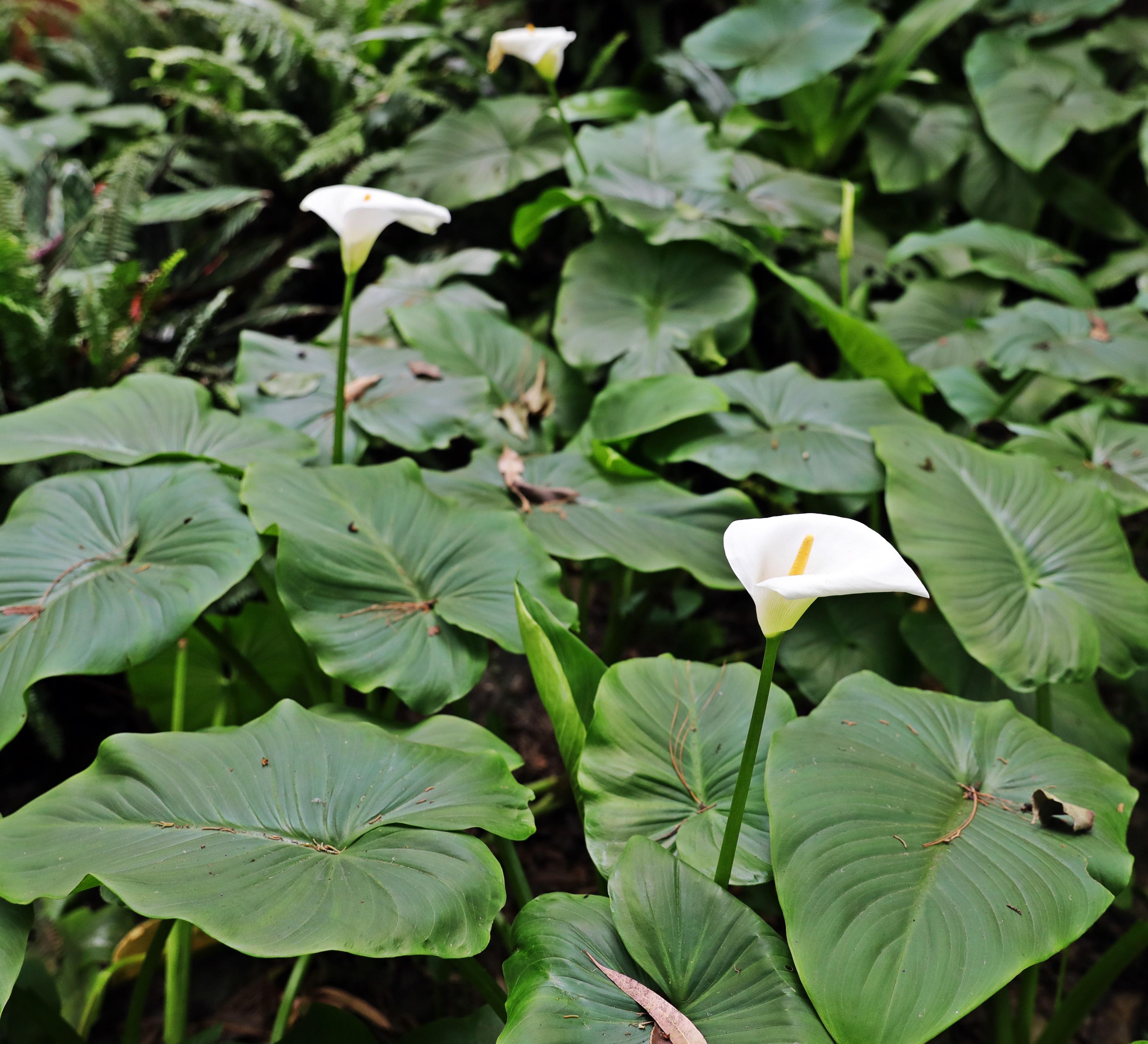 Wild Calla Lilies, Nuwara Eliya
