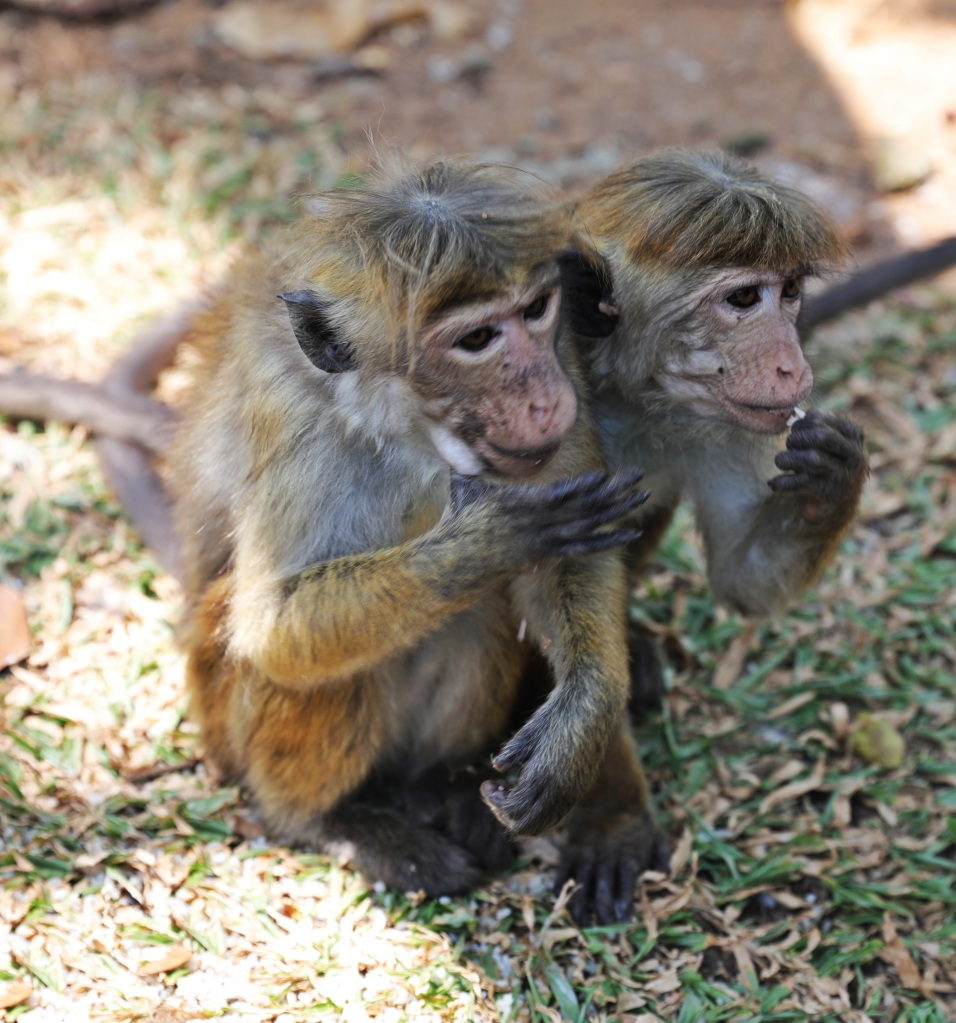 Toque macaques around Kandy Lake