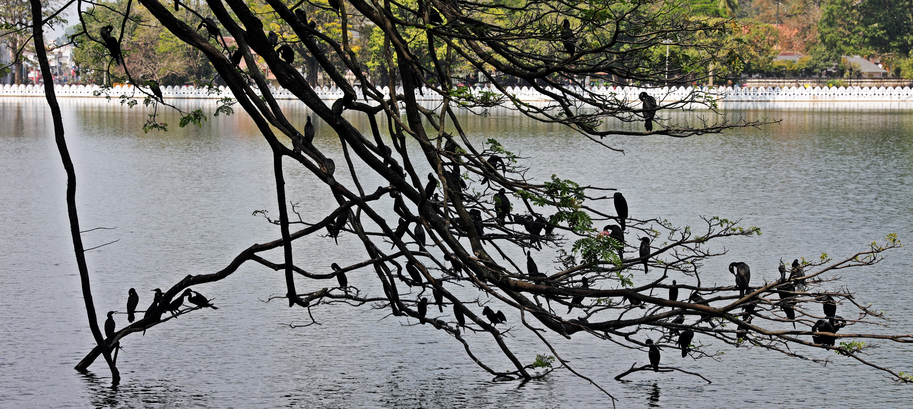 Cormorant convention, Kandy