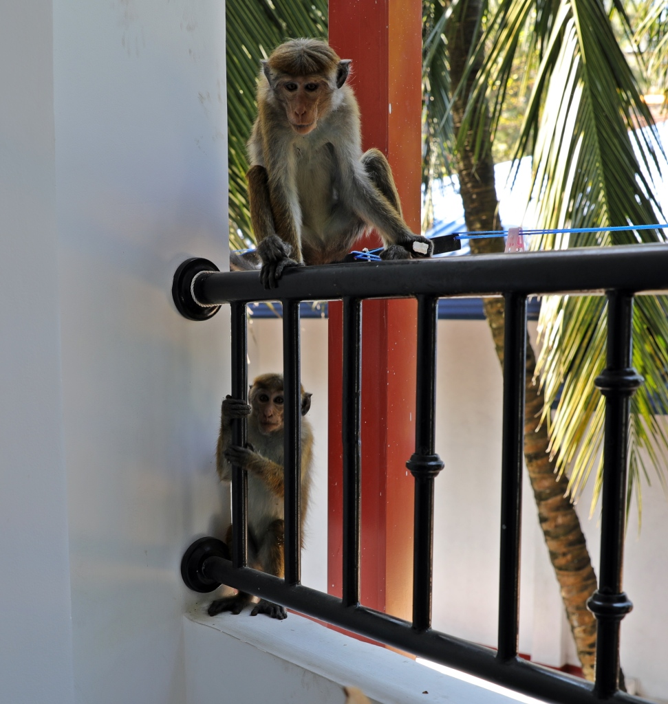 Toque macaques on our hotel balcony, Kandy