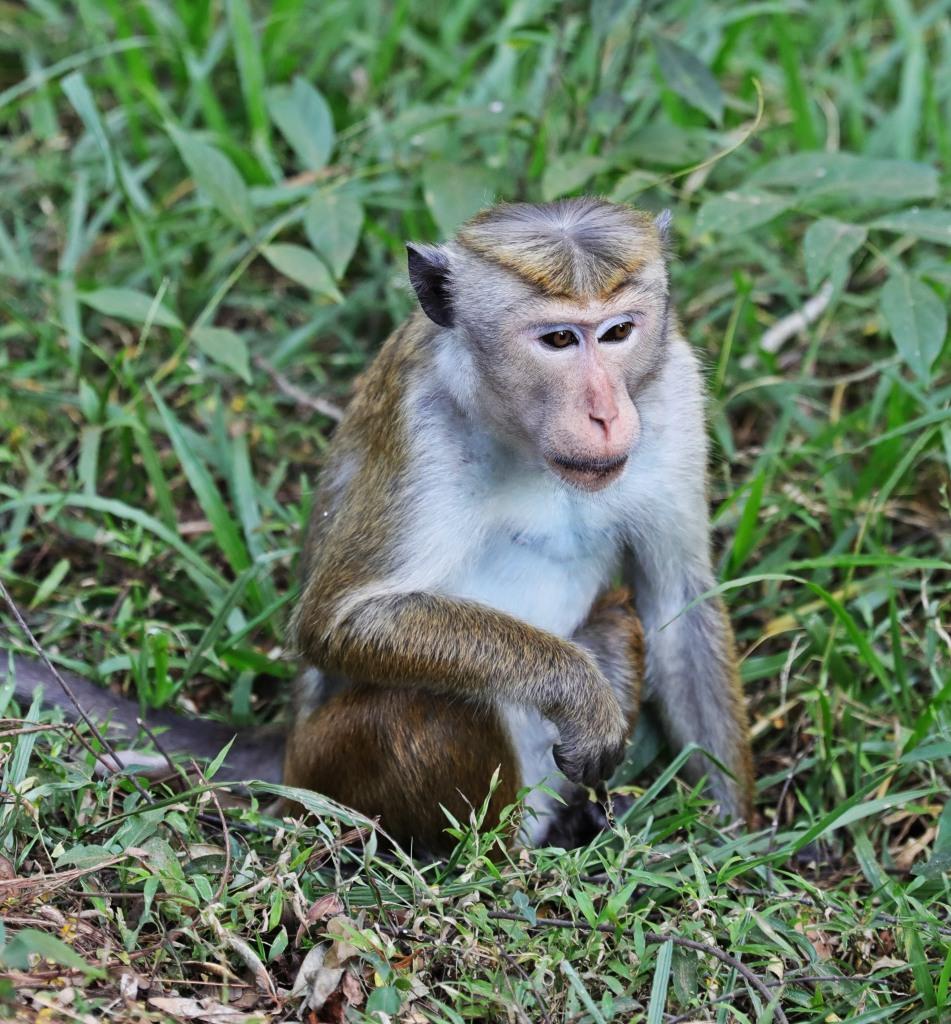 Toque Macaque, Sigiriya