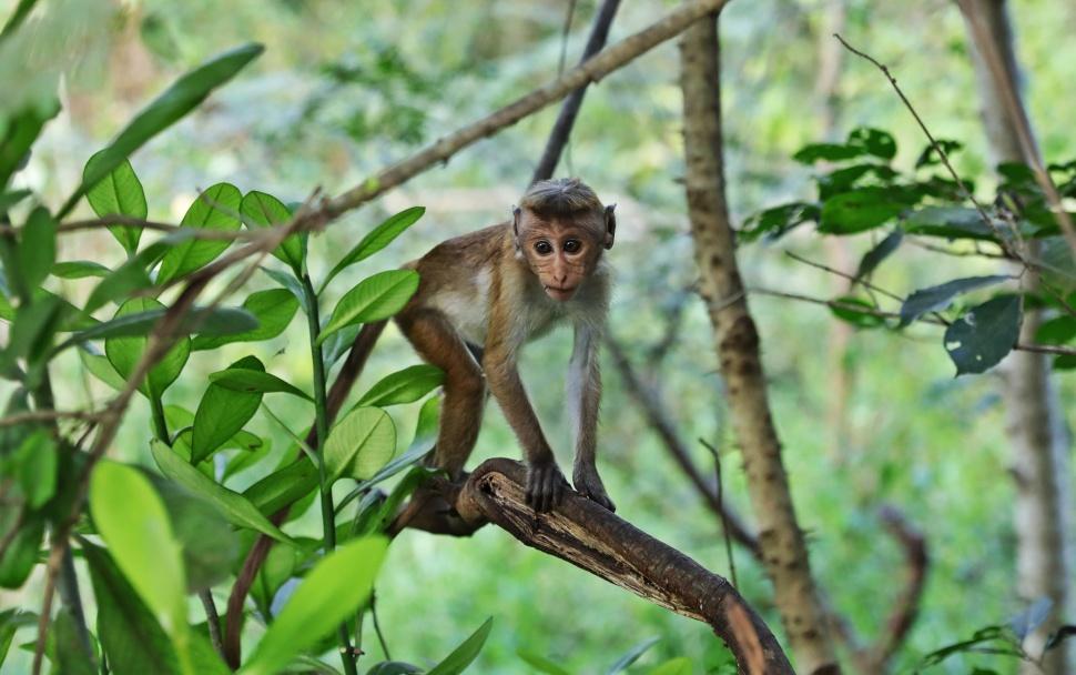 Baby Toque Macaque, Sigiriya