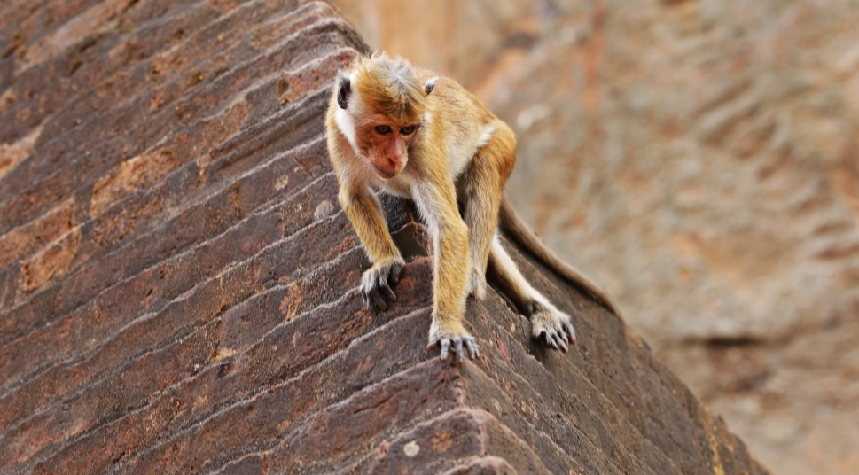 Macaque climbing on the ruins, Sigiriya Rock