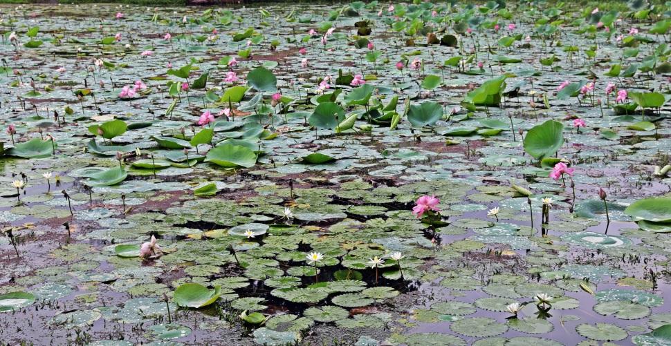 Lotus Pond, Gal Vihara, Polonnaruwa
