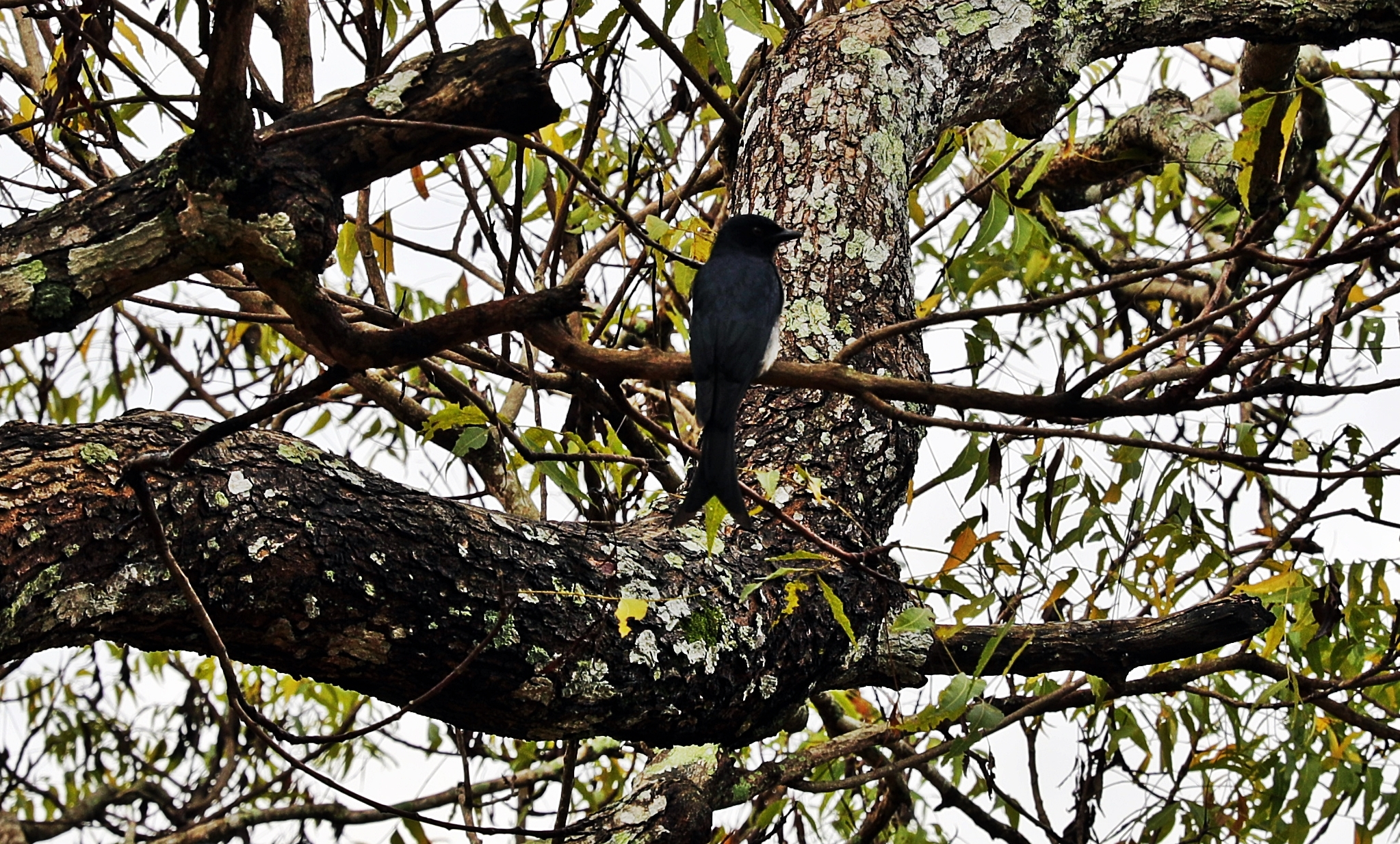 Endemic Sri Lankan Crested Drongo, Alahana Pirivena