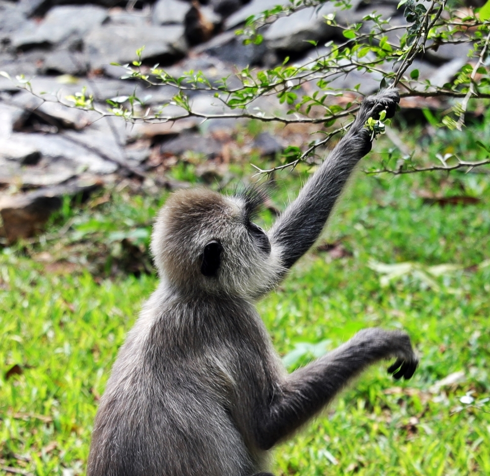 Look at those eyebrows, Grey Langur