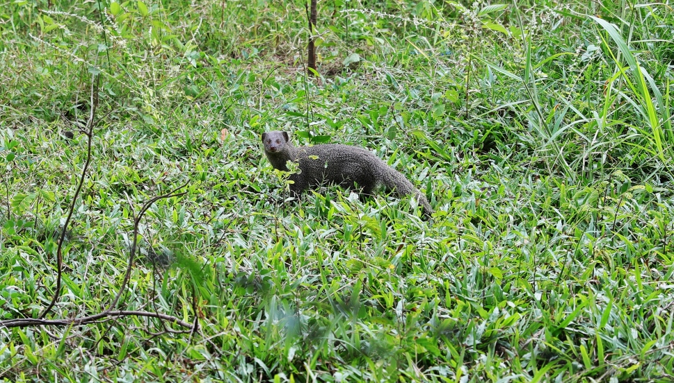 Mongoose outside our hotel, Polonnaruwa