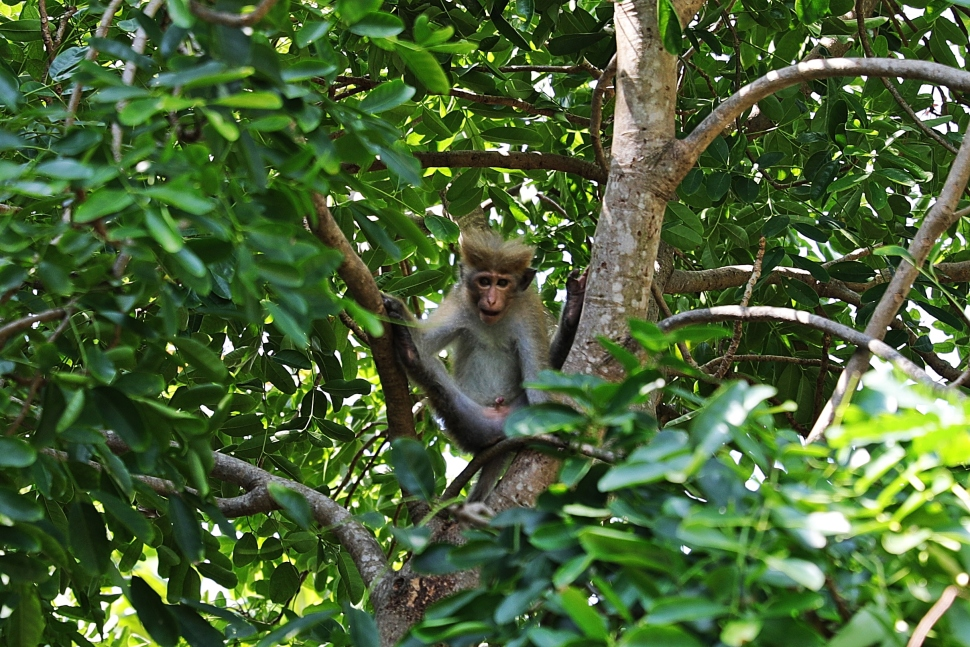 Toque Macaque, Arugam Bay