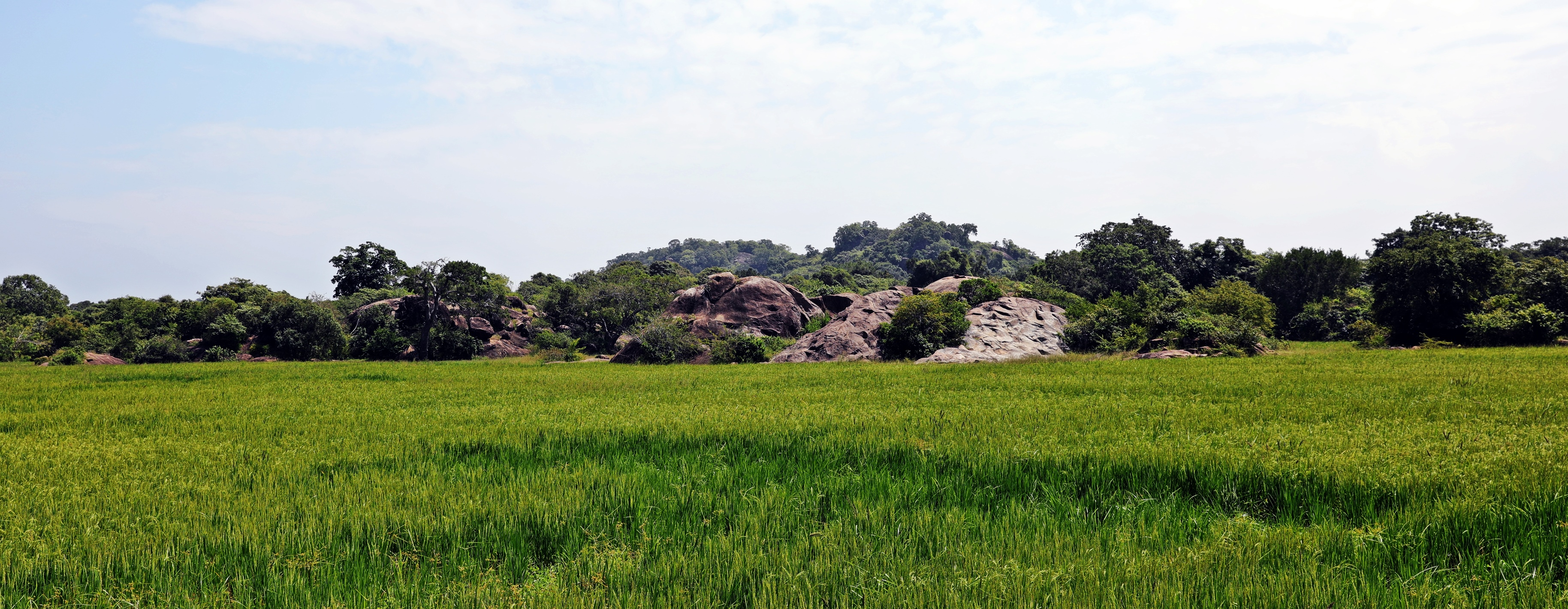Rice fields outside Arugam Bay
