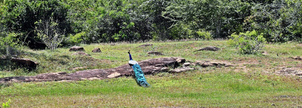 Peacock, Arugam Bay