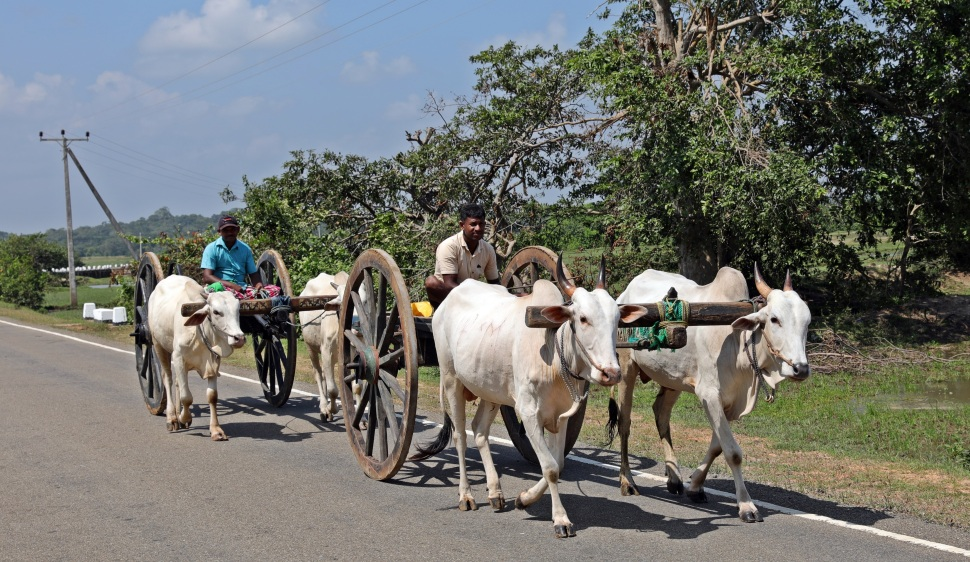 Oxen-cart near Arugam Bay