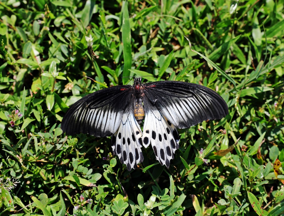 Butterfly, Arugam Bay