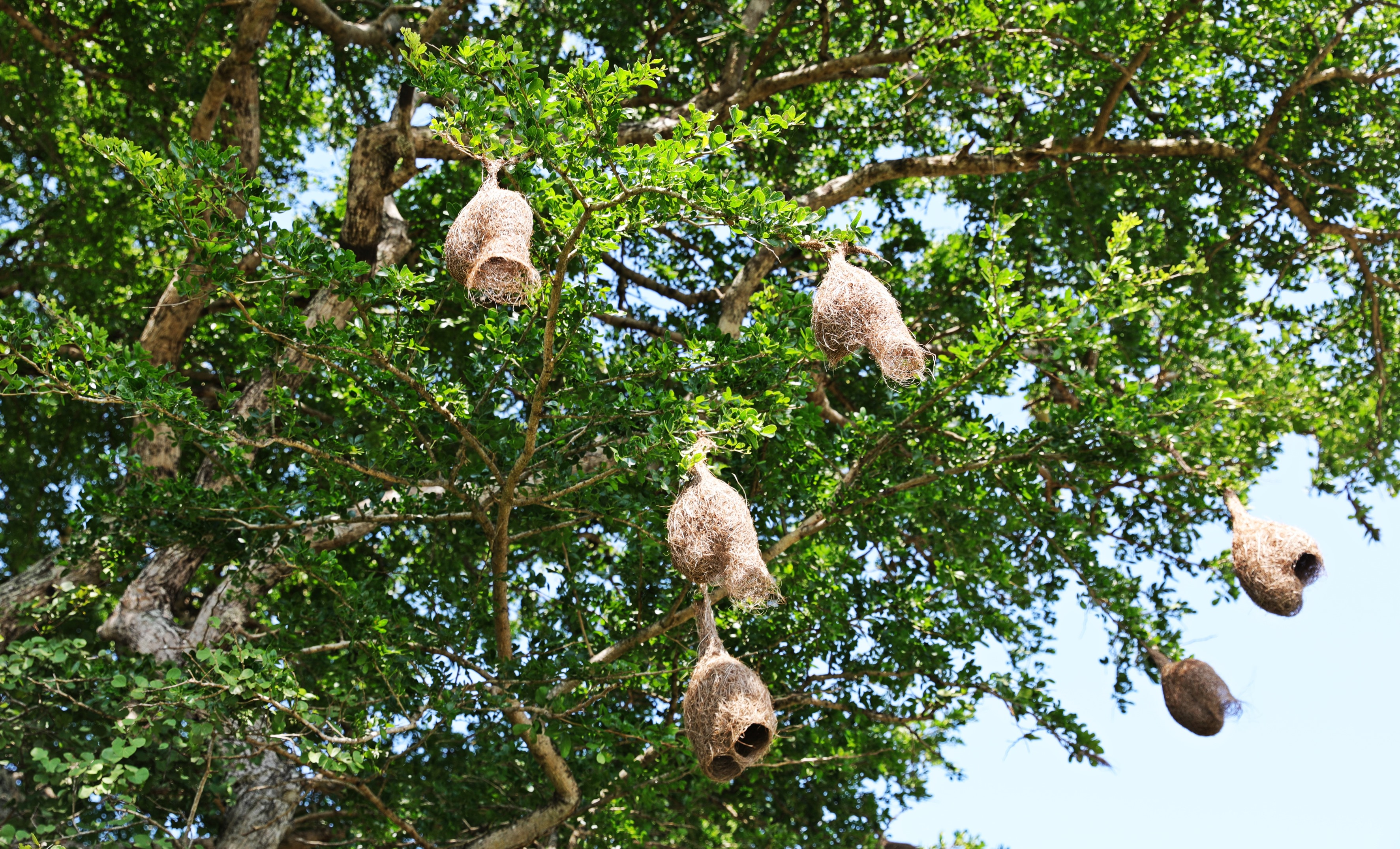 Weaver's nests, Arugam Bay