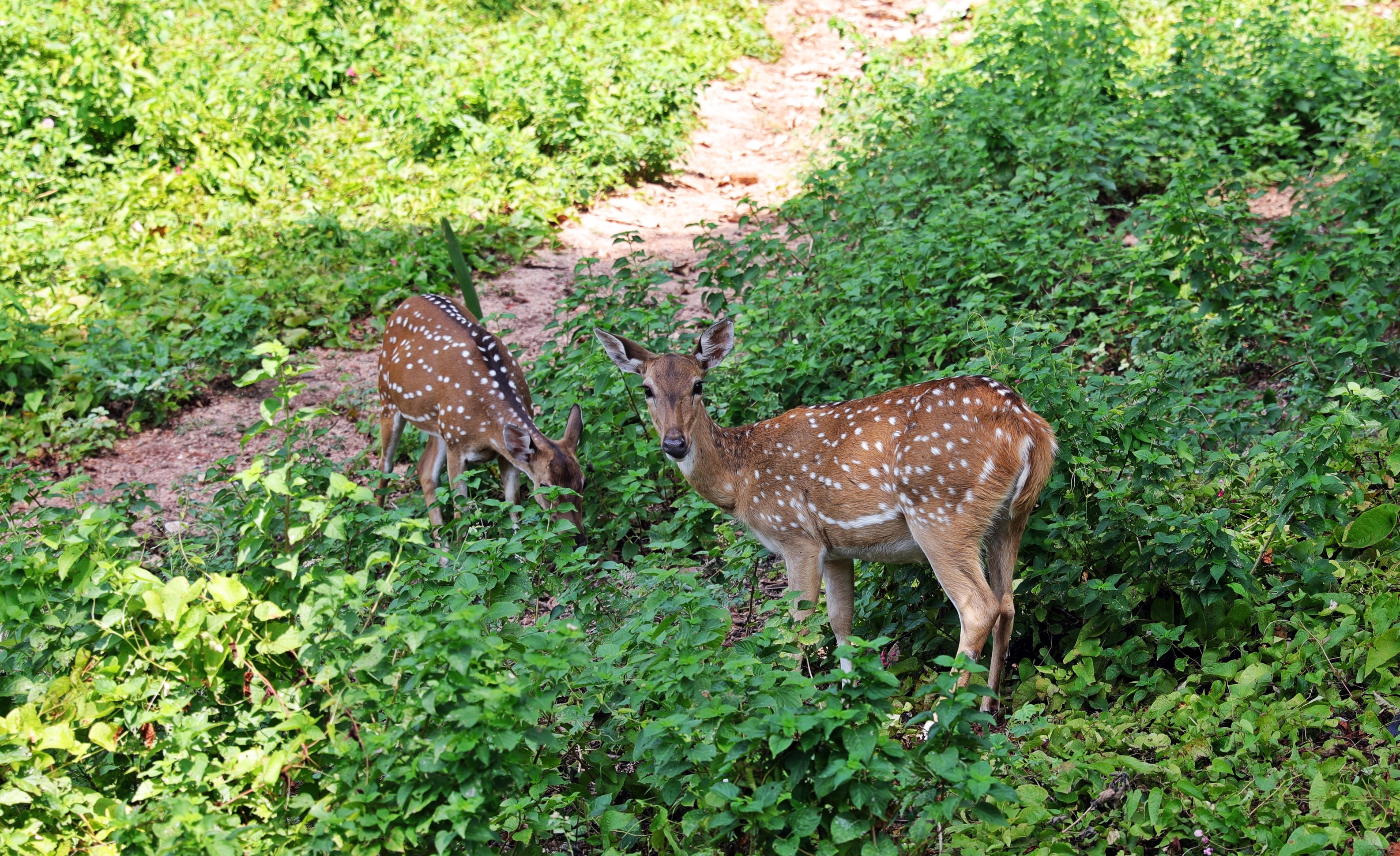 Spotted deer, Fort Frederick
