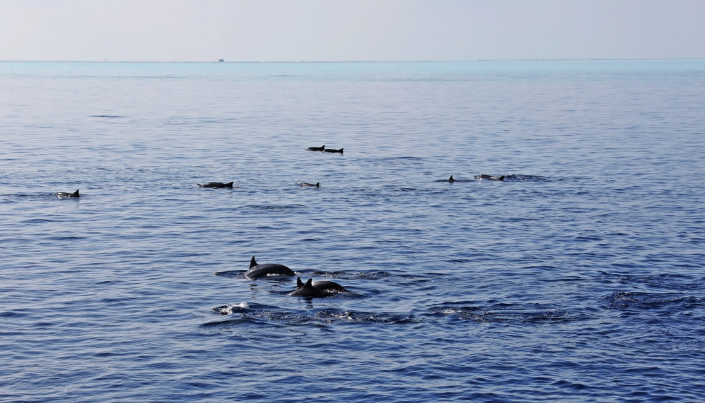 Dolphins, Maldives