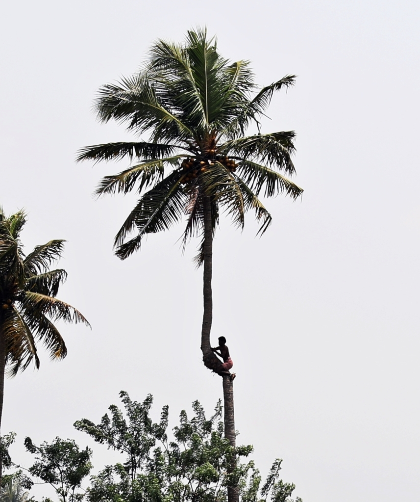 Climbing a coconut tree, Kerala backwaters