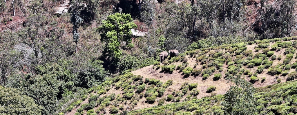 Two wild elephants, Munnar