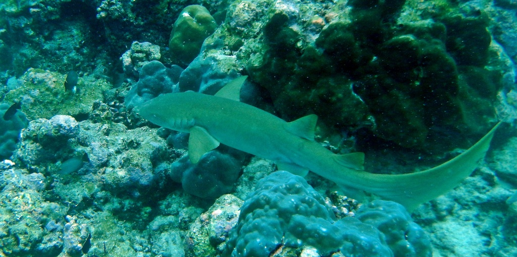 Reef shark, Maldives