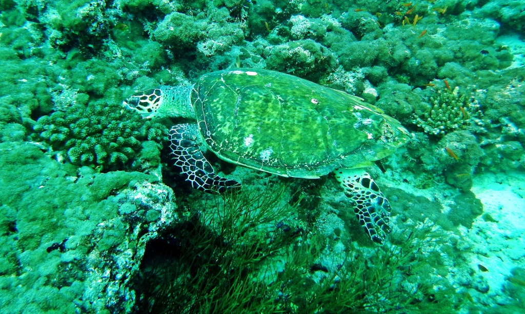 Marine turtle, Maldives
