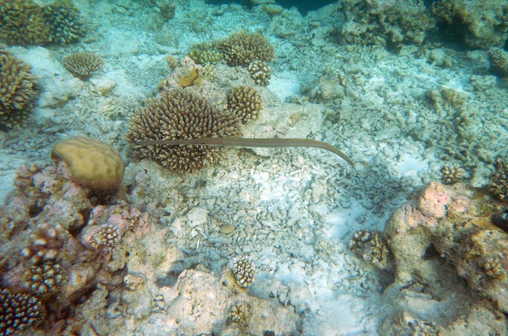 Flutefish, Maldives