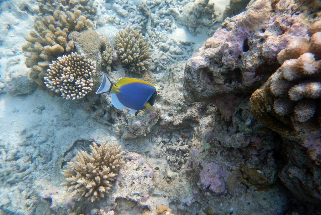 Surgeonfish, Maldives