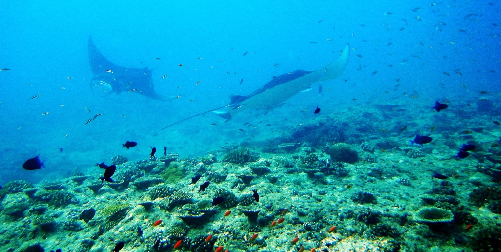 Two Giant Oceanic Manta Rays, Maldives