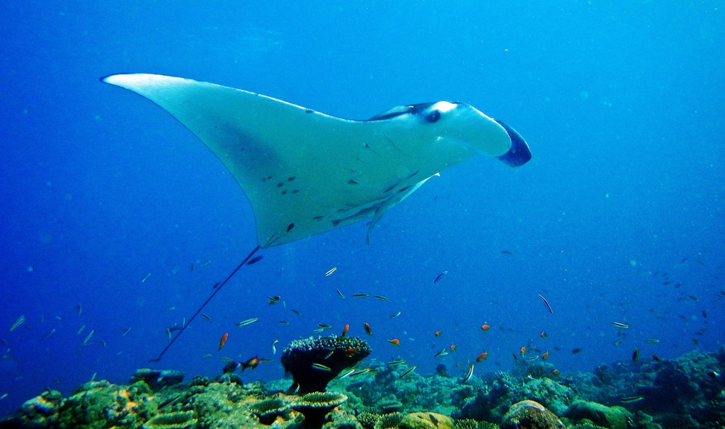Giant Oceanic Manta Ray, Maldives