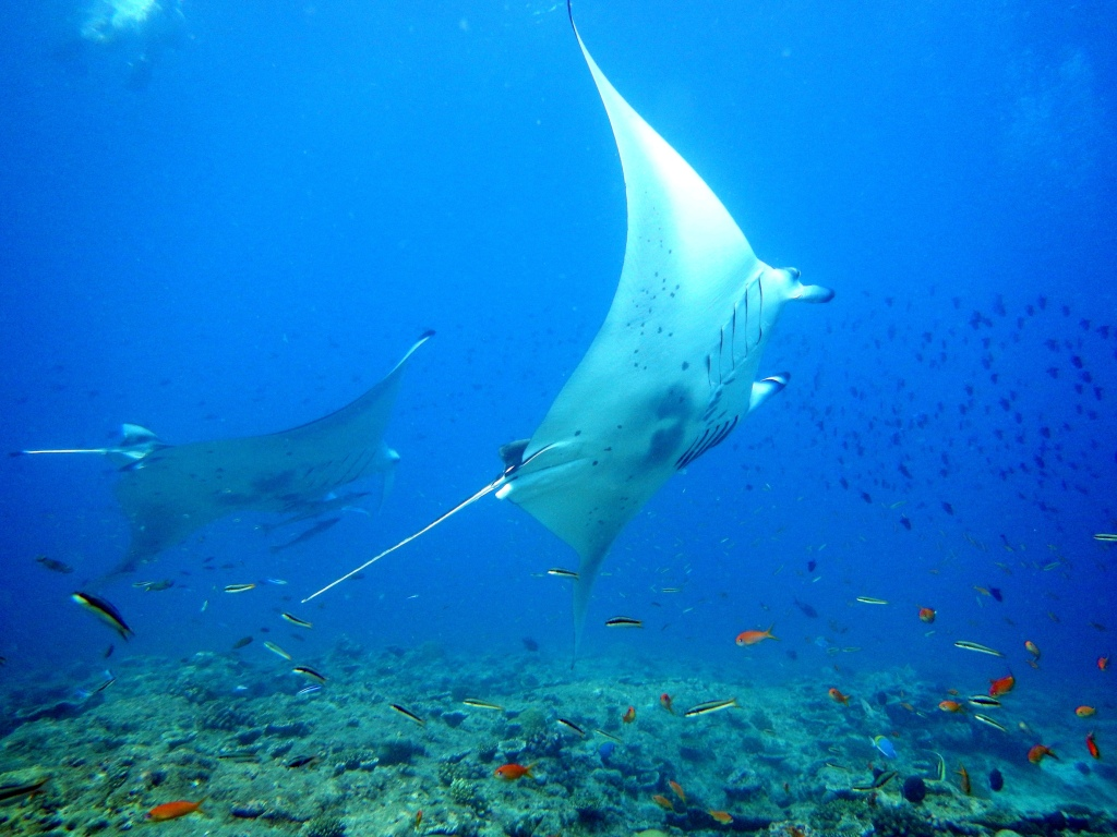 Two Giant Oceanic Manta Ray, Maldives