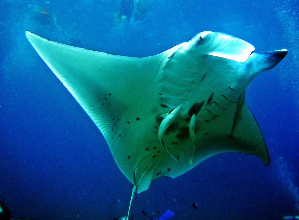 Giant Oceanic Manta Ray with cleaner fish, Maldives