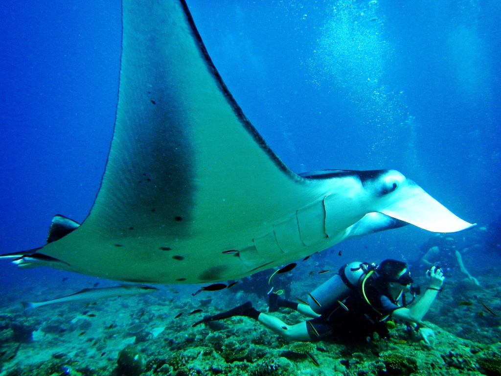 Giant Oceanic Manta Ray swims over a unsuspecting diver, Maldives