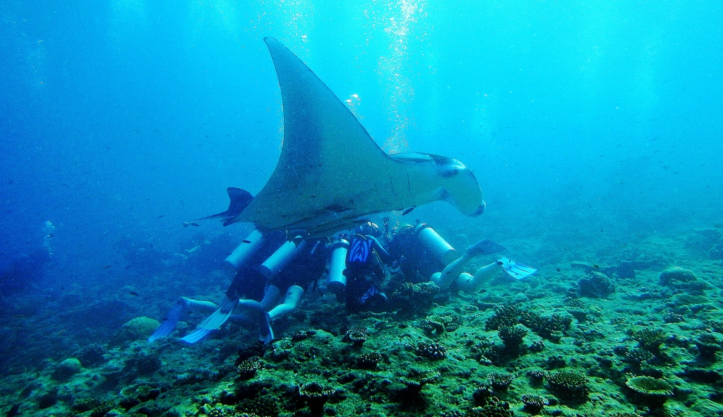 Giant Oceanic Manta Ray swimming over divers, Maldives