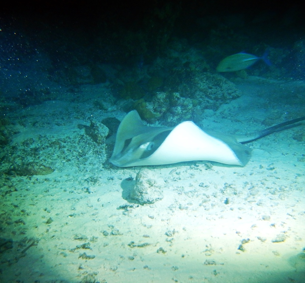 Sting ray on night dive, Maldives